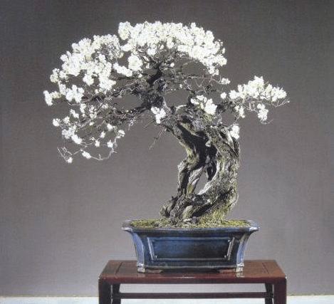 梅花盆景造型