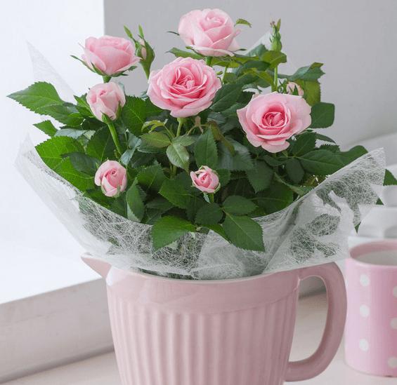 盆栽玫瑰修剪