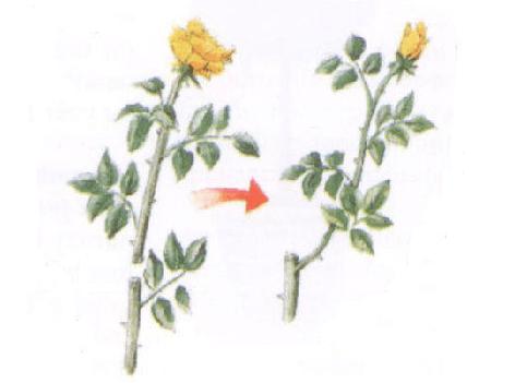 玫瑰花的修剪
