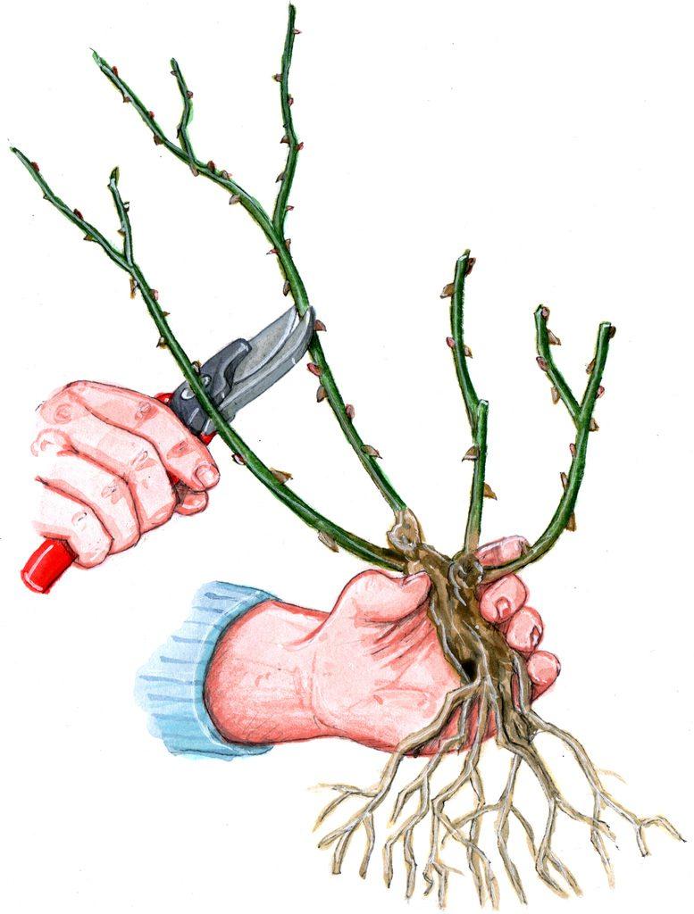 修剪玫瑰枝条