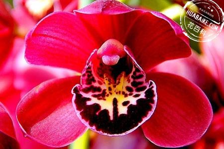 大花蕙兰的开花图片欣赏