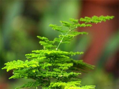 文竹的采收与保鲜