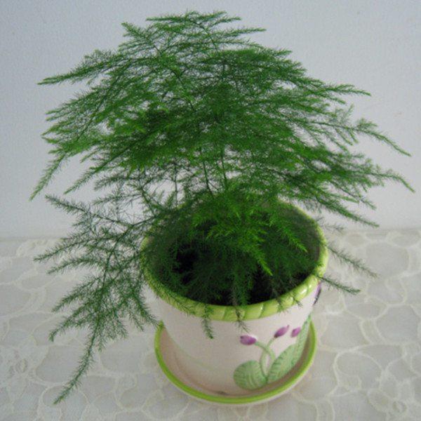 文竹的风水作用