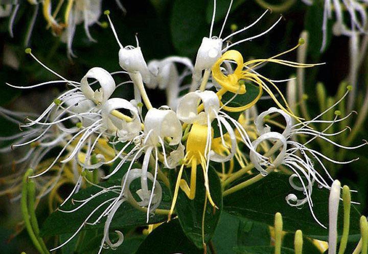 野生金银花