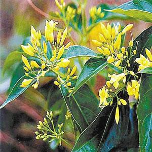 断肠草与金银花区别-断肠草