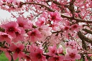 桃花盛开的图片
