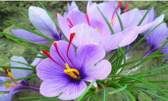 藏红花(番红花)播种繁殖