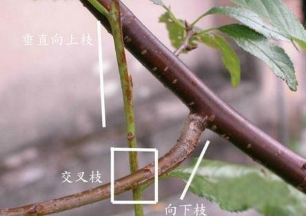 三角梅的交叉枝