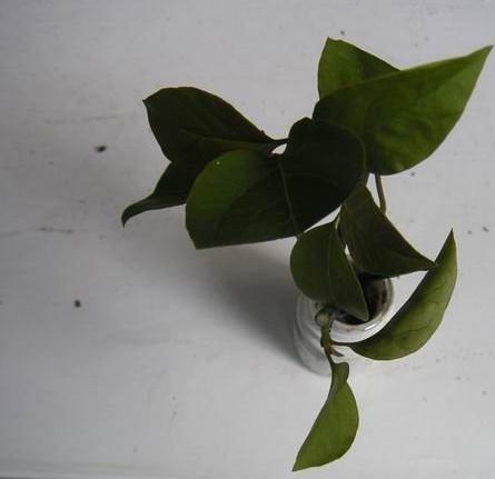 三角梅的扦插:浸泡枝条