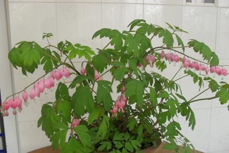 室内盆栽荷包牡丹