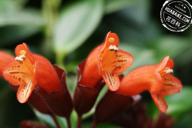口红花简介,口红花(口红吊兰)品种和图片大全