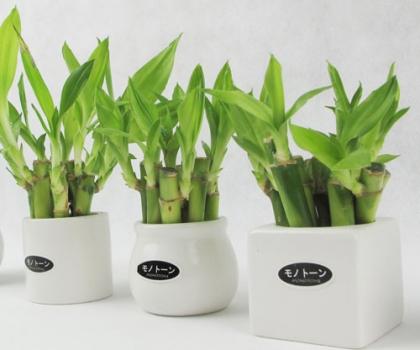 富贵竹对光温的要求