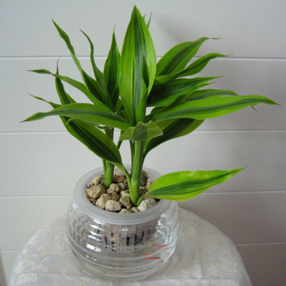 富贵竹水培入水