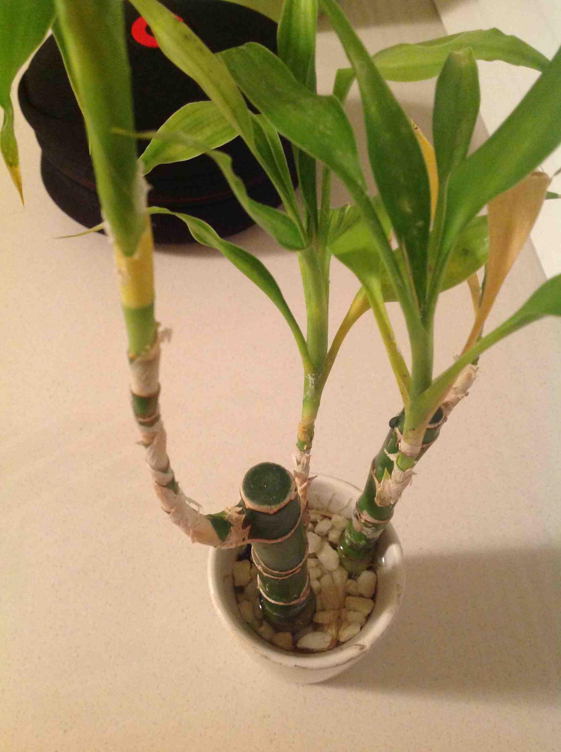 富贵竹茎秆枯萎了怎么办