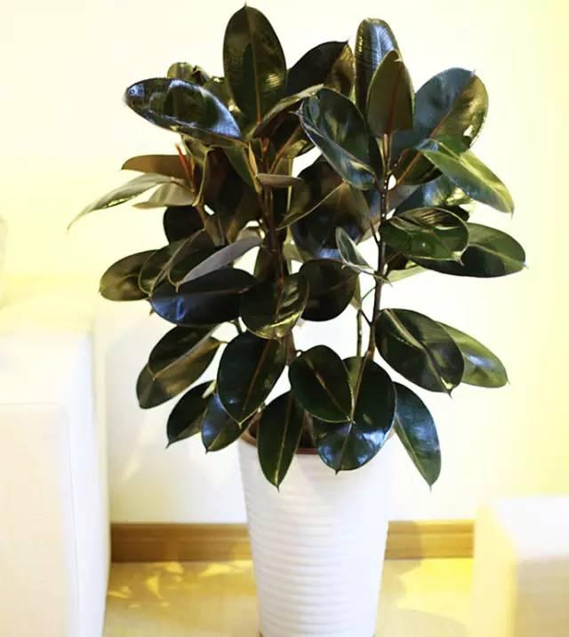 橡皮树是绿色吸尘器