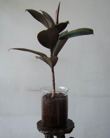水培橡皮树