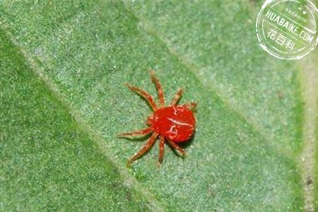 红蜘蛛虫害