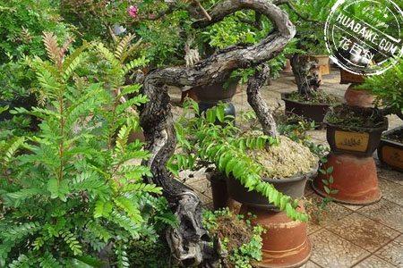 清香木盆景图片欣赏