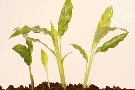 清香木播种繁殖
