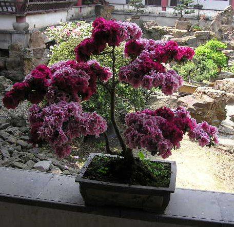 杜鹃花栽种