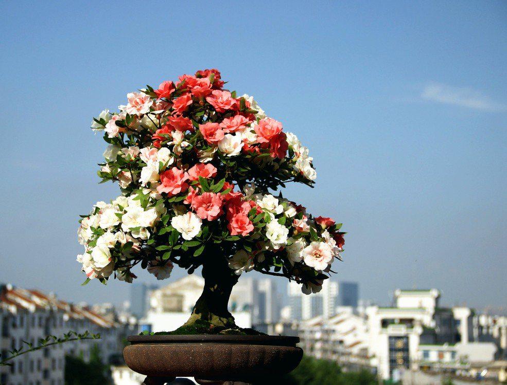 直干式杜鹃花盆景