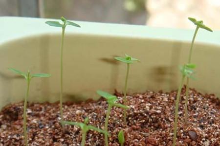 含羞草的土壤