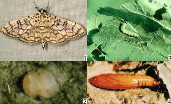木棉卷大冥虫