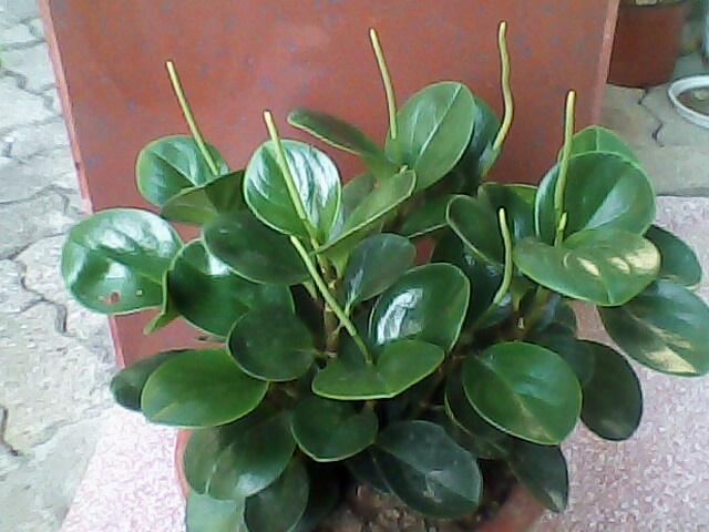 开花的豆瓣绿