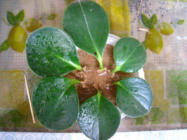 豆瓣绿叶插