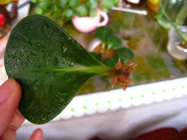 豆瓣绿生根