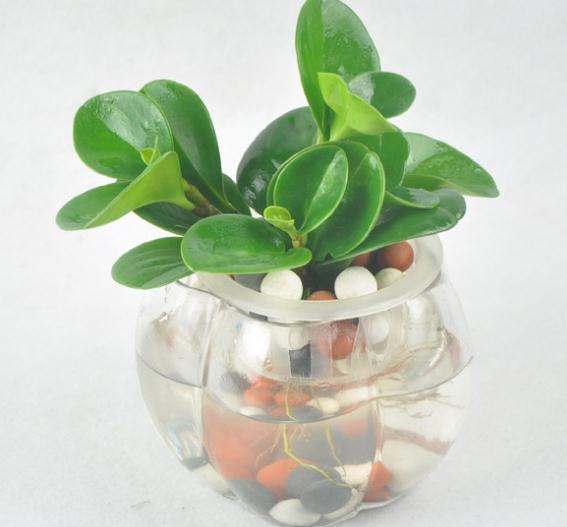 水培豆瓣绿的养护方法