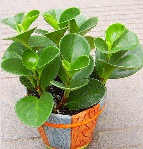 豆瓣绿的作用:净化空气