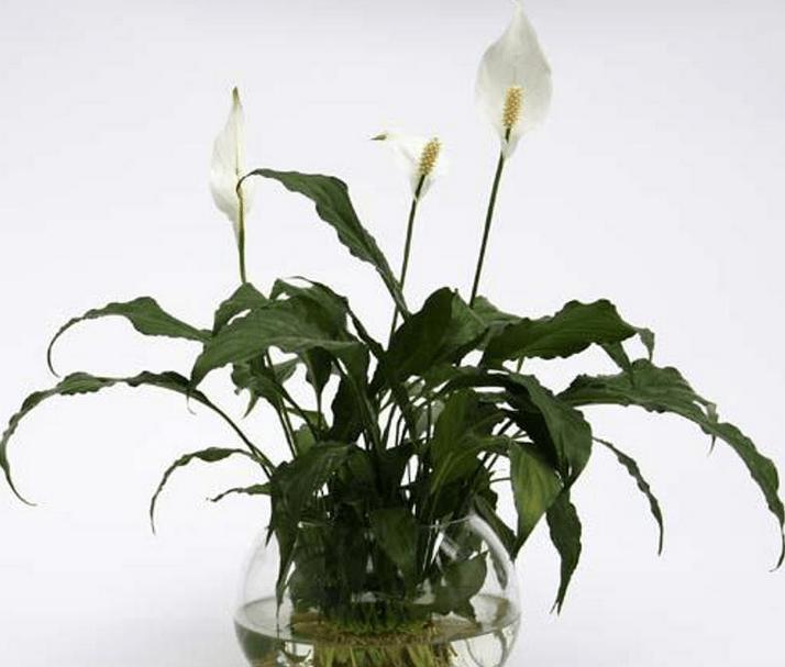 白掌为多年生绿色草本植物,株高25~35厘米,具短茎。根系发达,洁白如玉,适合用透明的玻璃容器水养。叶基生,叶阔披针形叶柄细长,叶色翠绿,叶脉明显,叶柄长。花梗长,佛焰花序苞片初时绿色后转白色,花序形似手掌,故称白掌。又因似航行中的一叶白帆,故又名一帆风顺。白掌具有过滤有害气体的功能,对空气中的甲醛、笨、氨和丙酮等有过滤作用。适合摆放于客厅,几案,书架或花架上。