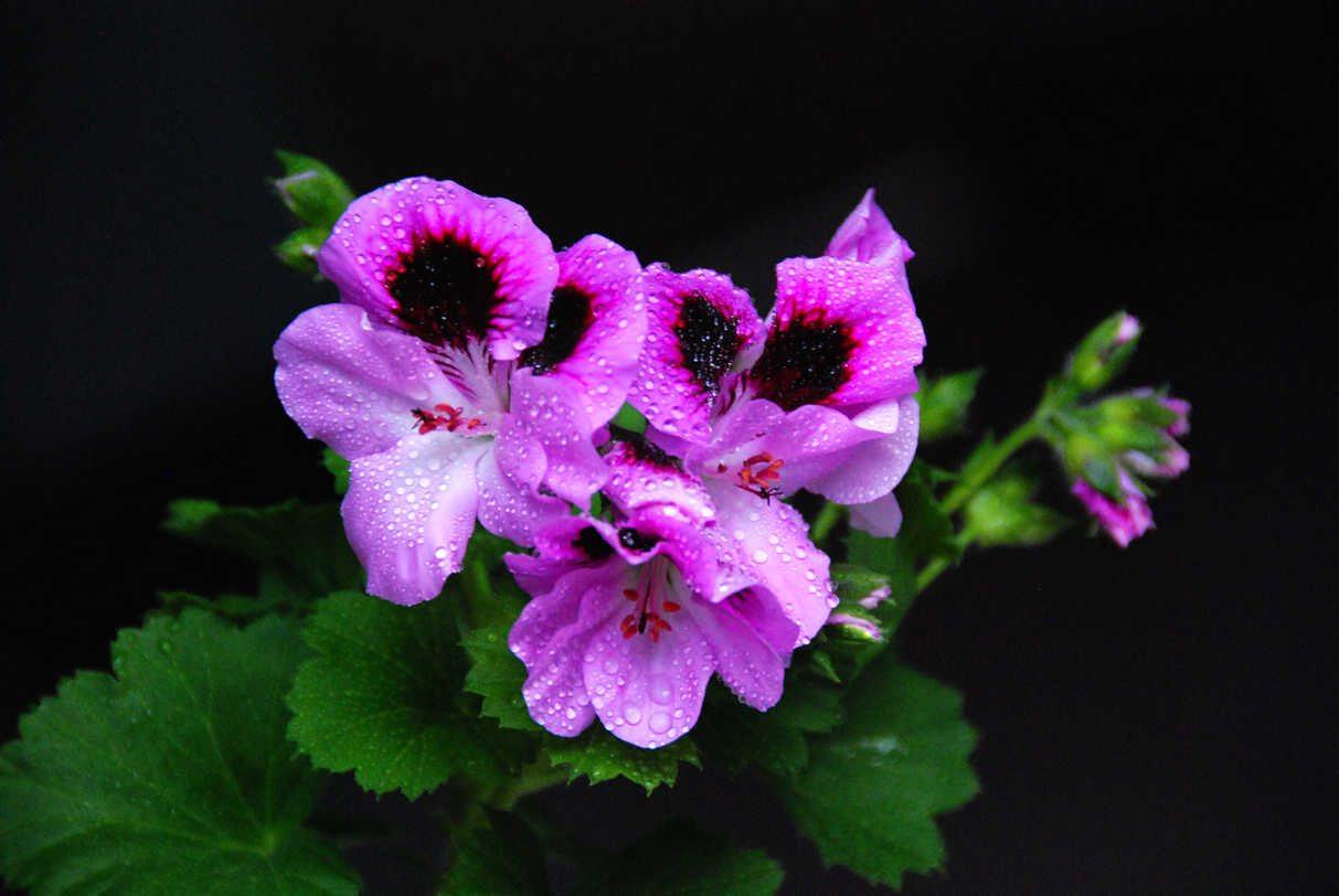 天竺葵开花时怎么施肥