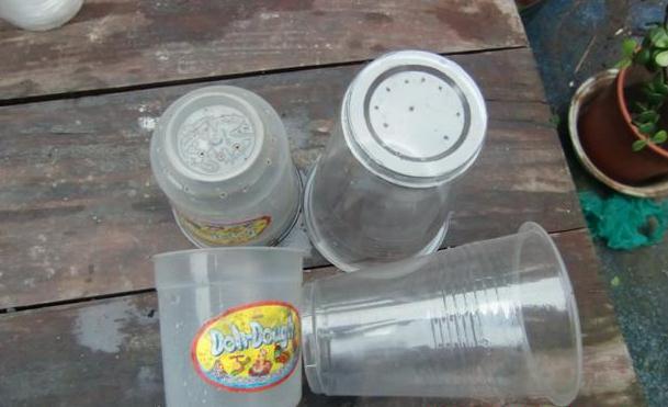 天竺葵扦插纸杯