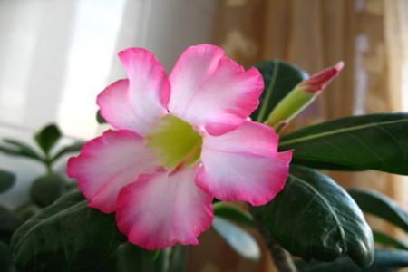 室内盆栽沙漠玫瑰