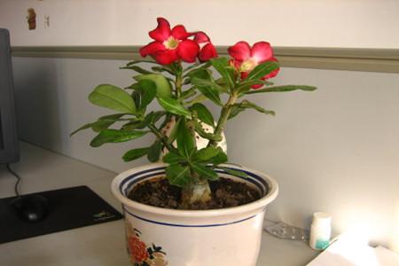 盆栽沙漠玫瑰