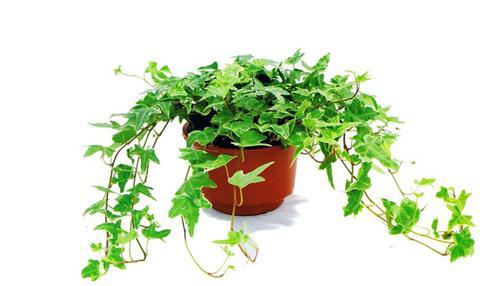 常春藤的养殖方法:温度要适宜