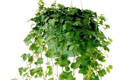 常春藤的养殖方法:浇水要适度