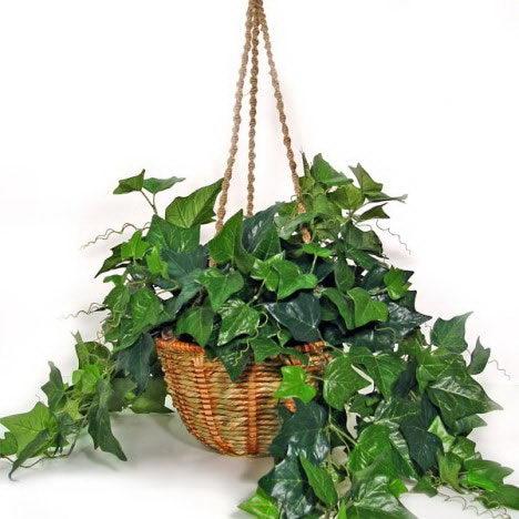 常春藤的养殖方法:盆栽要设支柱