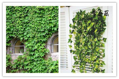 常春藤和爬山虎的分布区别