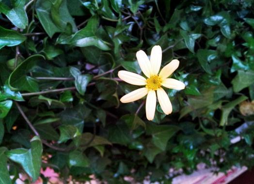 常春藤也开花
