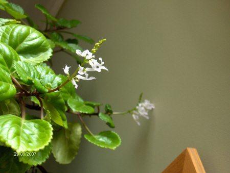瑞典常春藤开花