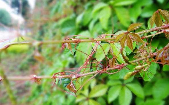 常春藤浇水:根据花盆材质