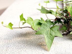 常春藤的水培方法 枝条