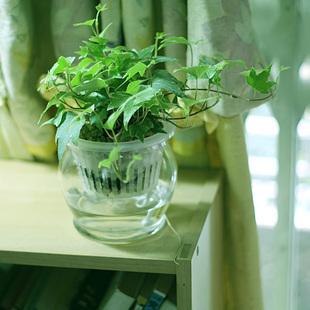 常春藤的水培