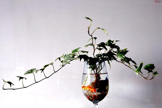 水培常春藤的养护要点