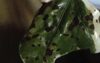 常春藤病害-叶斑病