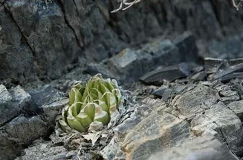 Haworthia lockwoodii:洋葱卷