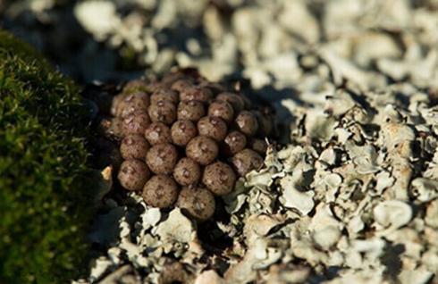 Conophytum minusculum ssp:翠卵